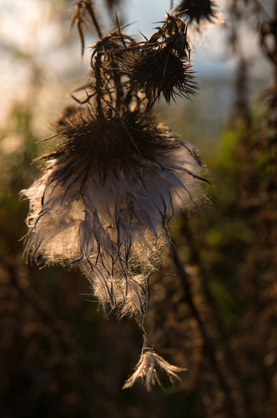 wells horton thistle