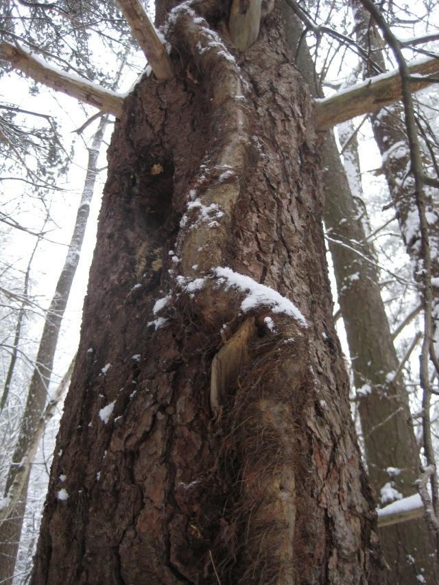 woodpecker 036