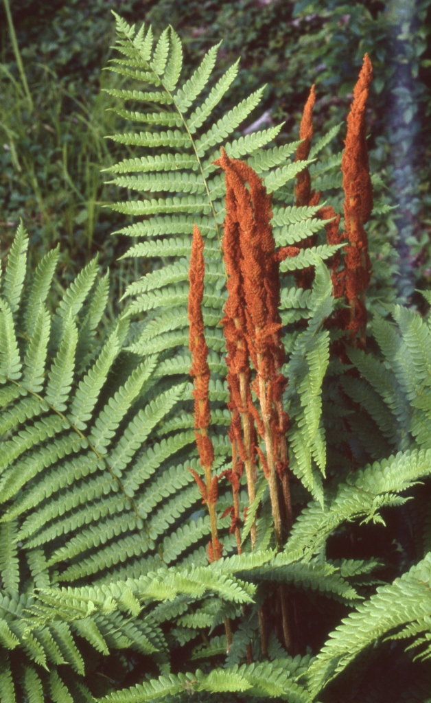 cinnamon fern frank knight