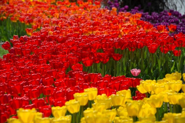 lone tulip wells horton