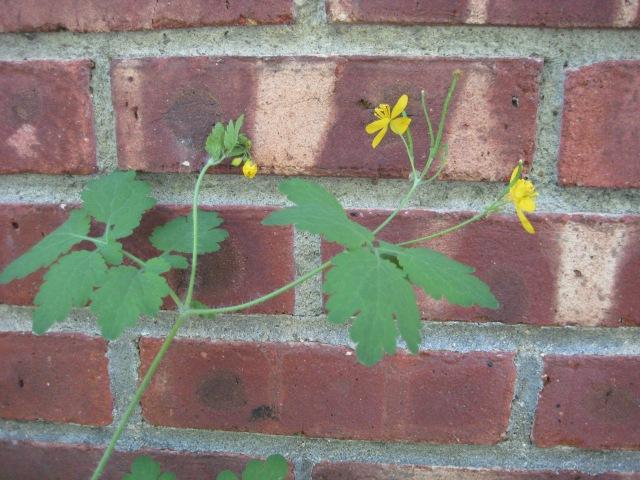 celandine flower 022