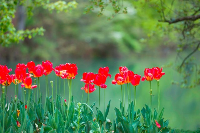 wells horton red tulips